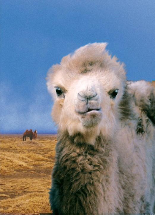 Příběh o uplakaném velbloudovi (2003)