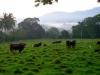 Krávy (1992)