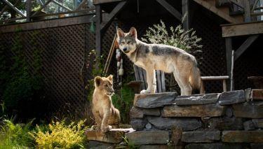 Vlk a lev: Nečekané přátelství (2021)