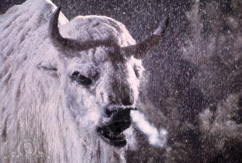 Bílý bizon (1977)