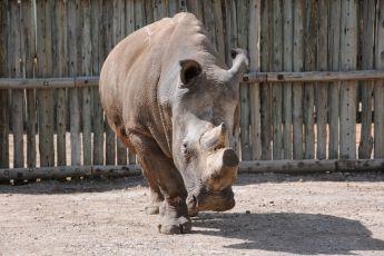 Poslední šance pro severní bílé nosorožce (2009) [TV film]
