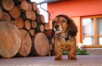 Hugo, 0-1 rok, jezevčík dlouhosrstý standard, pes, nejlepší kamarád Kačenky