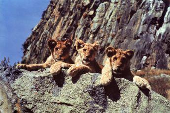 Divočina patří lvům (1972)